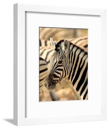 Zebra at Namutoni Resort, Namibia-Joe Restuccia III-Framed Photographic Print