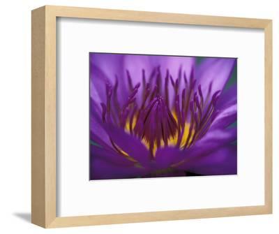Purple and Yellow Lotus Flower, Bangkok, Thailand-John & Lisa Merrill-Framed Photographic Print