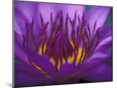 Purple and Yellow Lotus Flower, Bangkok, Thailand-John & Lisa Merrill-Mounted Photographic Print