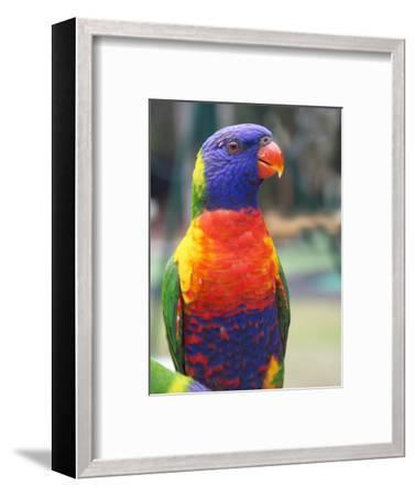 Rainbow Lorikeet, Australia-David Wall-Framed Photographic Print