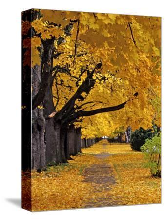 Autumn Maple Trees, Missoula, Montana, USA-Chuck Haney-Stretched Canvas Print