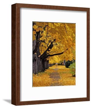 Autumn Maple Trees, Missoula, Montana, USA-Chuck Haney-Framed Photographic Print