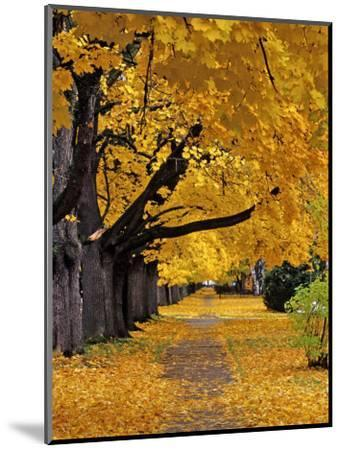 Autumn Maple Trees, Missoula, Montana, USA-Chuck Haney-Mounted Photographic Print