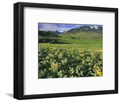 Balsamroot in the Absaroka Mountains, Livingston, Montana, USA-Chuck Haney-Framed Photographic Print