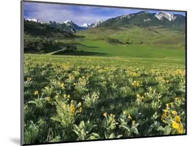 Balsamroot in the Absaroka Mountains, Livingston, Montana, USA-Chuck Haney-Mounted Photographic Print
