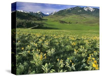 Balsamroot in the Absaroka Mountains, Livingston, Montana, USA-Chuck Haney-Stretched Canvas Print