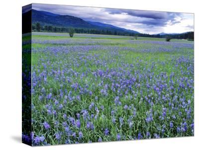 Field of Blue Camas Wildflowers near Huson, Montana, USA-Chuck Haney-Stretched Canvas Print