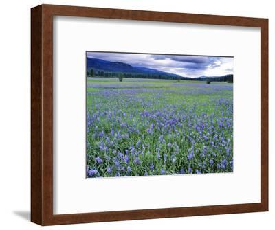Field of Blue Camas Wildflowers near Huson, Montana, USA-Chuck Haney-Framed Photographic Print