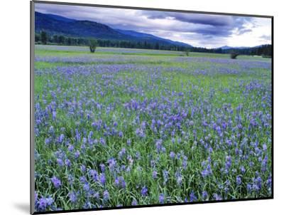 Field of Blue Camas Wildflowers near Huson, Montana, USA-Chuck Haney-Mounted Photographic Print