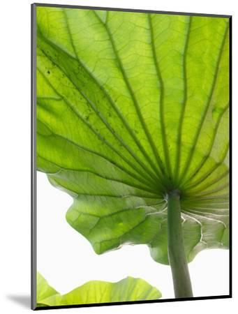 Lotus Leaf Texture-Michele Molinari-Mounted Photographic Print