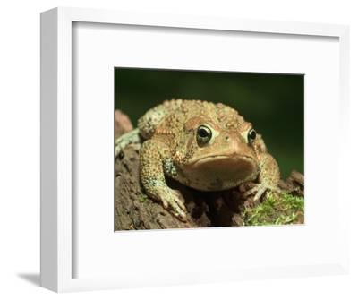 American Toad on Log, Eastern USA-Maresa Pryor-Framed Photographic Print