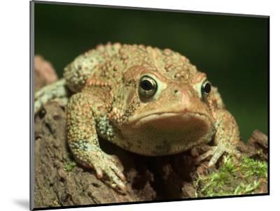 American Toad on Log, Eastern USA-Maresa Pryor-Mounted Photographic Print
