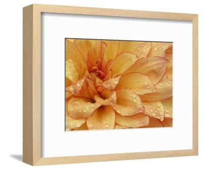 Dahlia Flower with Pedals Radiating Outward, Sammamish, Washington, USA-Darrell Gulin-Framed Photographic Print
