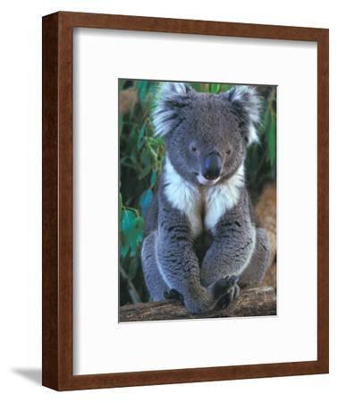 Koala, Australia-John & Lisa Merrill-Framed Photographic Print