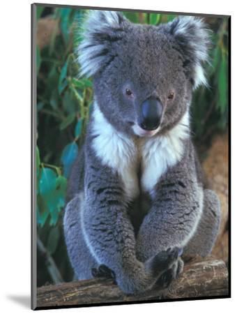Koala, Australia-John & Lisa Merrill-Mounted Photographic Print