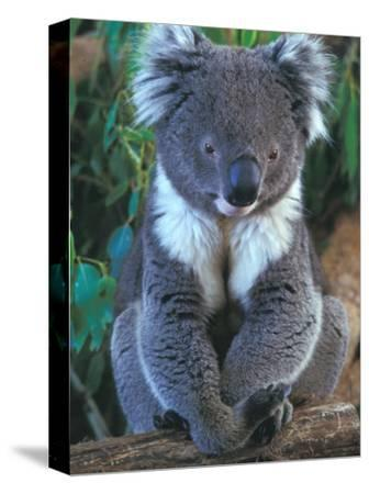 Koala, Australia-John & Lisa Merrill-Stretched Canvas Print