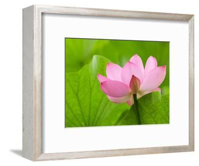 Perry's Water Garden, Lotus Bloom and Leaves, Franklin, North Carolina, USA-Joanne Wells-Framed Photographic Print
