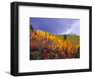 Colorful Aspens in Logan Canyon, Utah, USA-Julie Eggers-Framed Photographic Print