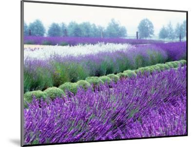 Lavender Field, Sequim, Washington, USA-Janell Davidson-Mounted Photographic Print