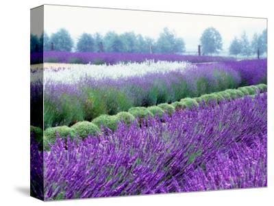 Lavender Field, Sequim, Washington, USA-Janell Davidson-Stretched Canvas Print