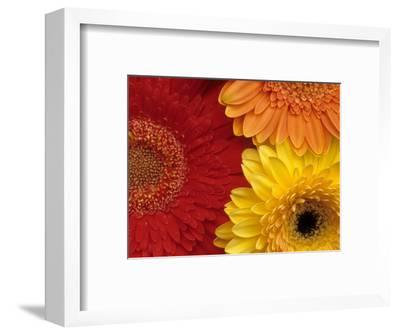 Gerbera-Daisy Gilardini-Framed Photographic Print