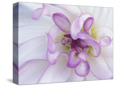 Purple Flower-Michele Westmorland-Stretched Canvas Print