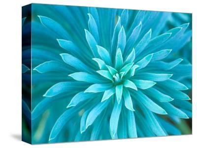 Euphorbia, Roche Harbor, Washington, USA-Rob Tilley-Stretched Canvas Print