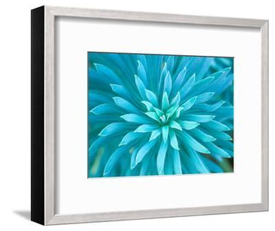 Euphorbia, Roche Harbor, Washington, USA-Rob Tilley-Framed Photographic Print