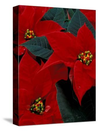 Red Poinsettia, Washington, USA--Stretched Canvas Print
