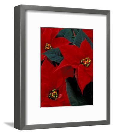 Red Poinsettia, Washington, USA--Framed Photographic Print