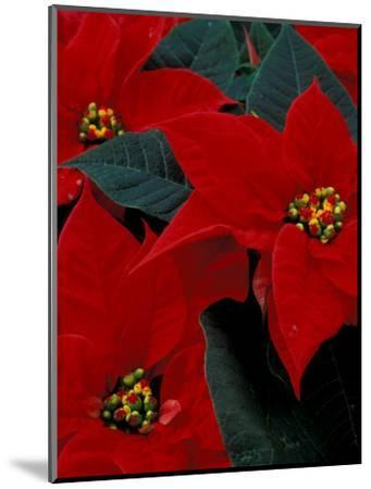 Red Poinsettia, Washington, USA--Mounted Photographic Print