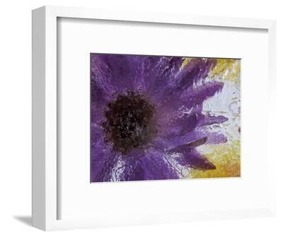 Aster Encased in Ice, Issaquah, Washington, USA,-Darrell Gulin-Framed Photographic Print