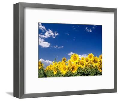 Sunflowers, Colorado, USA-Terry Eggers-Framed Photographic Print