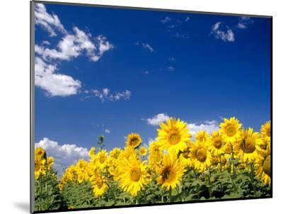 Sunflowers, Colorado, USA-Terry Eggers-Mounted Photographic Print