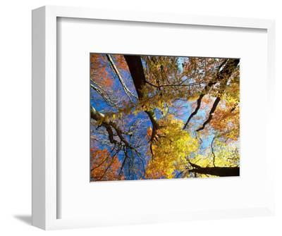 Forest Canopy in Autumn, Jasmund National Park, Island of Ruegen, Germany-Christian Ziegler-Framed Photographic Print