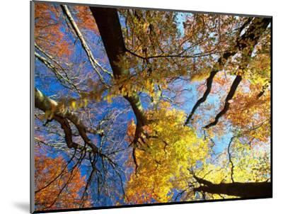 Forest Canopy in Autumn, Jasmund National Park, Island of Ruegen, Germany-Christian Ziegler-Mounted Photographic Print