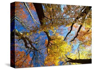Forest Canopy in Autumn, Jasmund National Park, Island of Ruegen, Germany-Christian Ziegler-Stretched Canvas Print