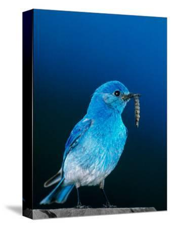 Mountain Bluebird in Yellowstone National Park, Wyoming, USA-Charles Sleicher-Stretched Canvas Print