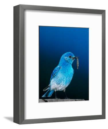 Mountain Bluebird in Yellowstone National Park, Wyoming, USA-Charles Sleicher-Framed Photographic Print