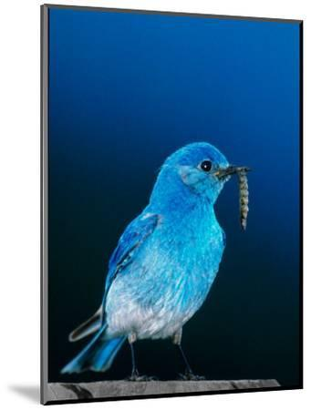 Mountain Bluebird in Yellowstone National Park, Wyoming, USA-Charles Sleicher-Mounted Photographic Print