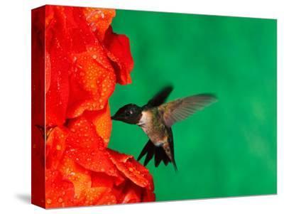 Male Ruby-Throated Hummingbird Feeding on Gladiolus Flowers-Adam Jones-Stretched Canvas Print