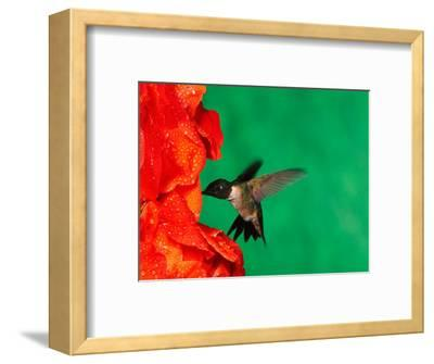 Male Ruby-Throated Hummingbird Feeding on Gladiolus Flowers-Adam Jones-Framed Photographic Print