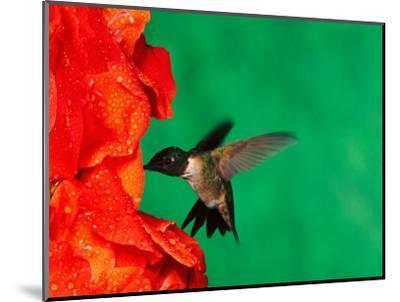 Male Ruby-Throated Hummingbird Feeding on Gladiolus Flowers-Adam Jones-Mounted Photographic Print