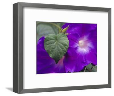 Morning Glory Vine, Maui, Hawaii, USA-Julie Eggers-Framed Photographic Print