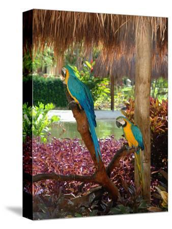 Two Blue and Gold Macaws Perched Under Thatched Roof-Lisa S^ Engelbrecht-Stretched Canvas Print