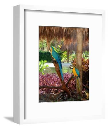 Two Blue and Gold Macaws Perched Under Thatched Roof-Lisa S^ Engelbrecht-Framed Photographic Print