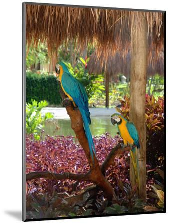 Two Blue and Gold Macaws Perched Under Thatched Roof-Lisa S^ Engelbrecht-Mounted Photographic Print