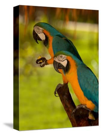 Two Blue and Gold Macaws-Lisa S^ Engelbrecht-Stretched Canvas Print