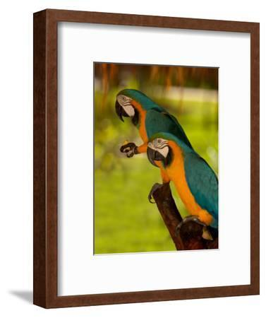 Two Blue and Gold Macaws-Lisa S^ Engelbrecht-Framed Photographic Print