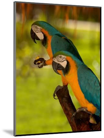 Two Blue and Gold Macaws-Lisa S^ Engelbrecht-Mounted Photographic Print